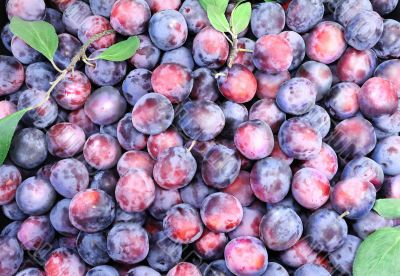 Large ripe plums in large quantities.