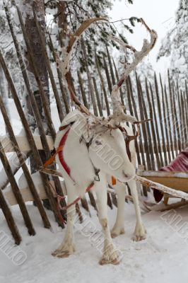 Reindeer in winter at the polar circle.