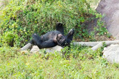 male chimpanzees