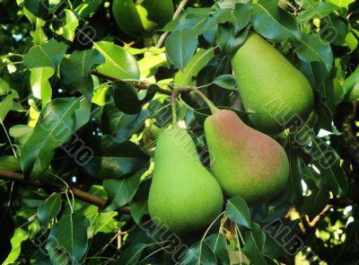 Three large ripe pears hanging on the tree.