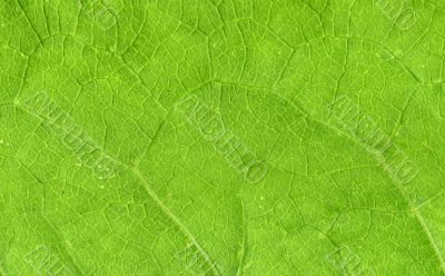Leaf veins close up