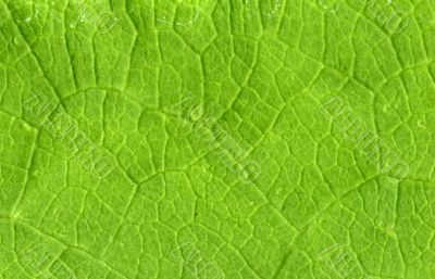 Leaf veins close up