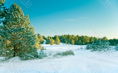 Snow pine forest