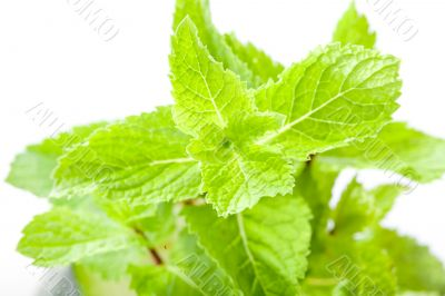 Mint leaves close up