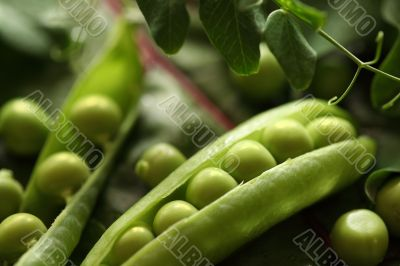 Green pea pods