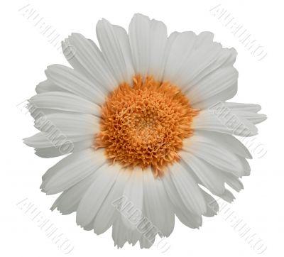 Large daisy isolated
