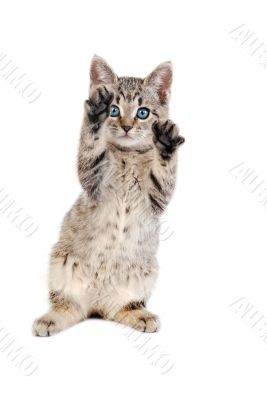 Blue Eyed Tabby Kitten with Paws Up