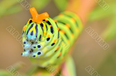 wild caterpillar of Papilio Macaone