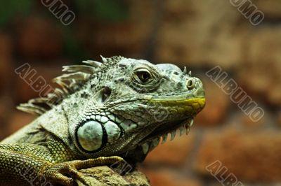 Calm lizard