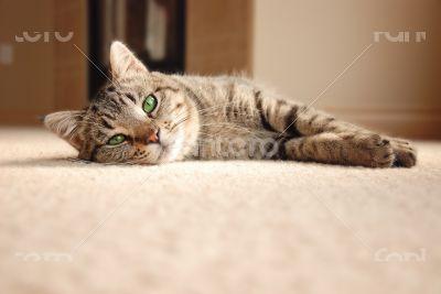 Tabby Kitten relaxing on carpet