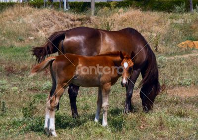 Horse and foal grazing in a meadow