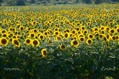 Many large and bright sunflowers on the field. Large yellow peta