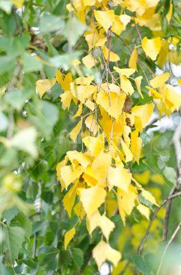 Green yellow birch
