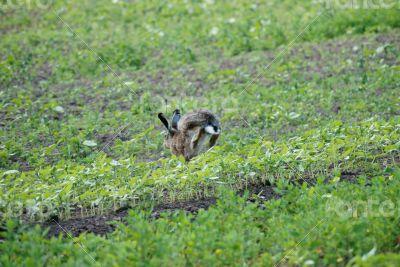 Fugitive rabbit