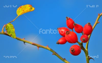 Rose hips from the bushes