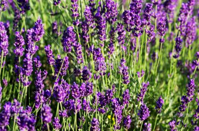 macro of lavender plant. herbal landscape of aromatic plant.