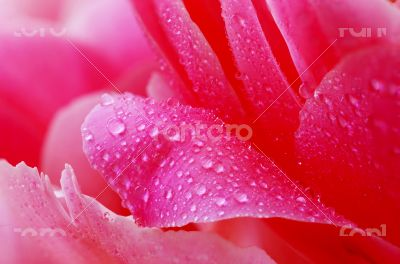 Water drops on peony petals, flower background