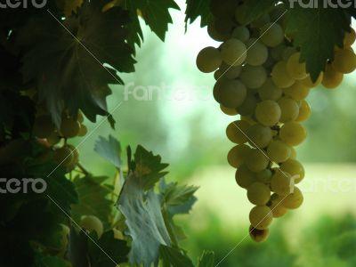 Green Vine Grapes