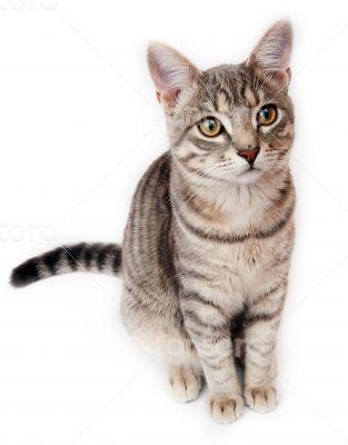 British Shorthair kitten on white background
