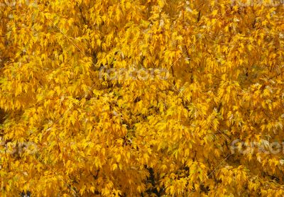 Autumn tree with abundant foliage yellow color ( background imag