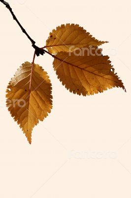 Birch leaf isolated