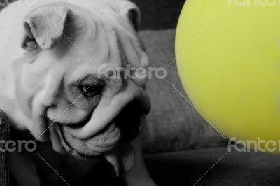Black and white Pitbull Dog