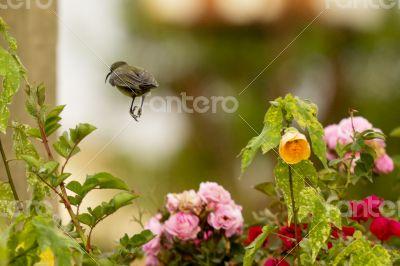 A Robin hopping in mid air