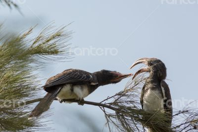 Two African Grey Hornbills fighting with their beak