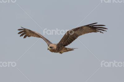 Amora in flight