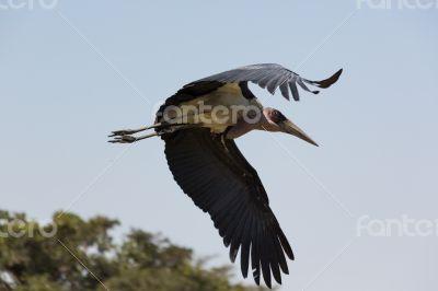 Marabou Stork in flight