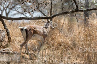 Grant`s gazelle