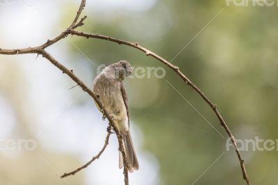 Common Bulbul on a twig