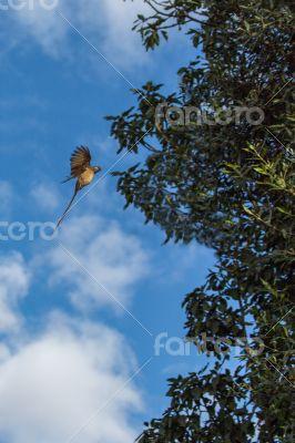 Speckled Mousebird in flight