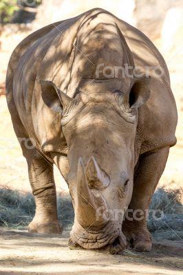 Adult Rhino