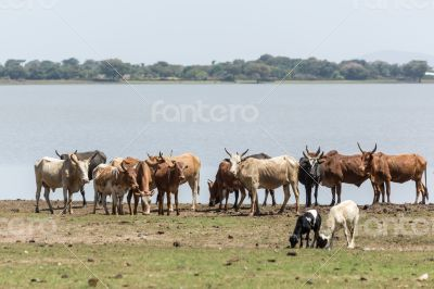 Cattle drinking water by the lake