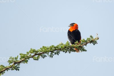 Black-winged Red Bishop