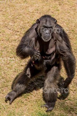 Female chimp