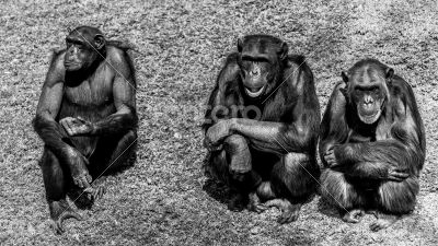 Three wise chimps