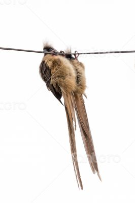 Speckled Mousebird hanging on wire
