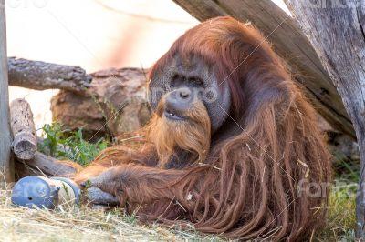 The old orangutan