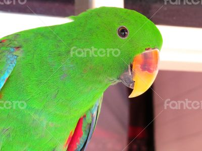 Green Male  Eclectus Parrot Posing for the Camera