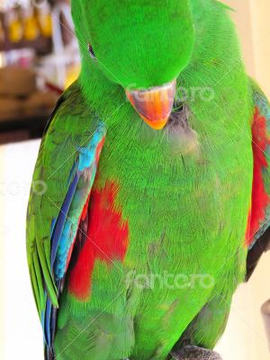 Green Male  Eclectus Parrot Plucking its Feathers