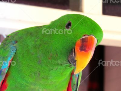 Green Male  Eclectus Parrot Looking at the  Camera