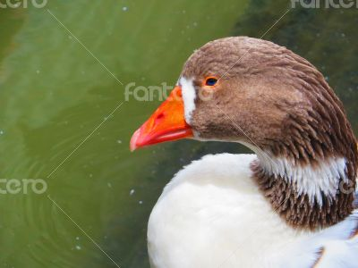 Greylag Goose Closeup on water