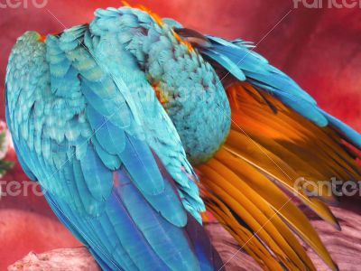 Blue and Orange Macaw Closeup
