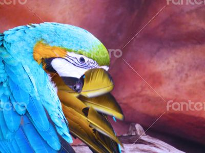 Blue and Yellow Plucking his Feathers
