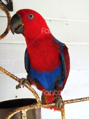 Female Eclectus Parrot Looking at the Camera