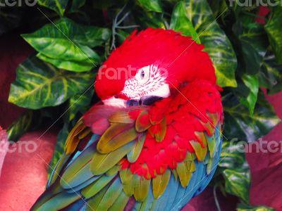 Red Papagayo Macaw Closeup