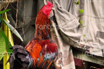 Colorful Thai Rooster