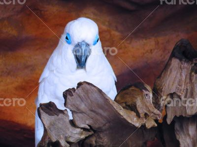 White Cacatue Parrot on Wooden branch